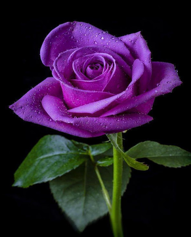 flowers_PurpleRose
